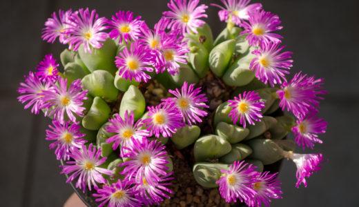 多肉植物お勧めの種類はどれ?育て方が簡単で脱皮し花が咲く品種
