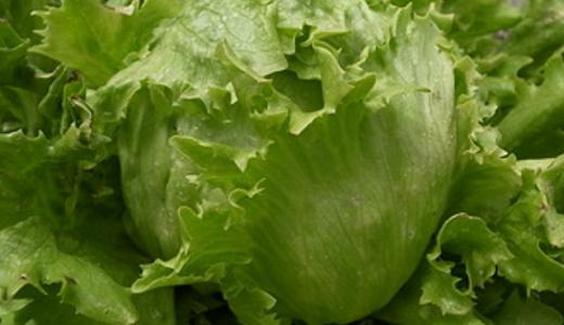 玉レタスはプランター栽培出来る?育て方のポイントと追肥の時期