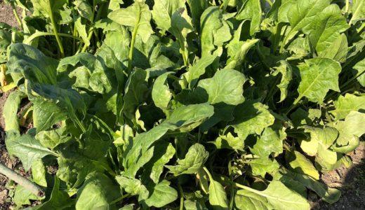 ほうれん草栽培失敗の原因は?酸性土壌と肥料不足や病害虫被害