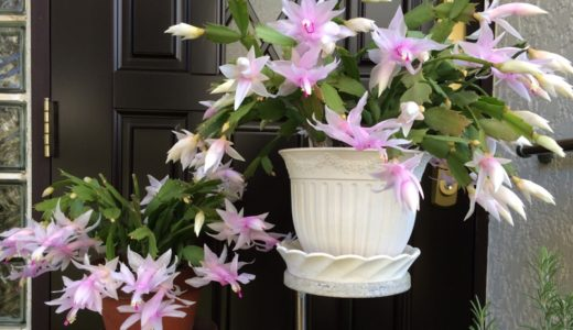 シャコバサボテンの夏越しと冬越し・翌年花を咲かせる為にする事
