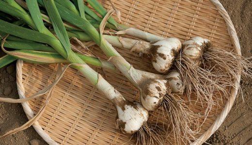 ニンニク栽培失敗?プランター菜園で芽が出ない原因と対処法