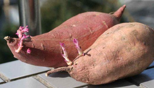収穫したさつまいもから種イモを作る方法とつる返しの必要性