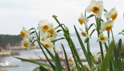 水仙の植え付け時期はいつ?花が終わったら葉を編むのは間違い