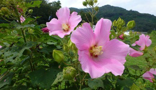 芙蓉と酔芙蓉の花の違いと酔芙蓉の花の色が変わるメカニズム