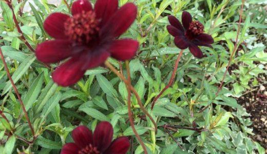 チョコレートコスモス・チョカモカの特徴と花が咲かない原因と対策