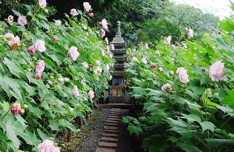 京都の芙蓉や酔芙蓉の花の名所3選・大乗寺の1300本の酔芙蓉が今が見頃