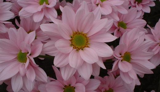 菊の育て方は簡単!切り花用スプレー菊の肥料の与え方と増やし方