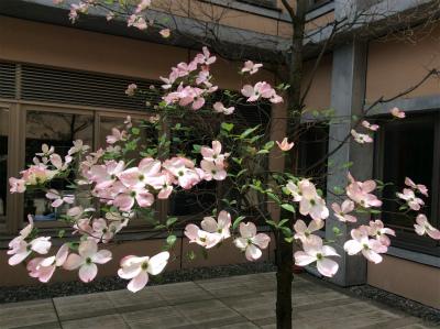 ハナミズキの花が少ない原因と翌年の花つきをよくする剪定方法