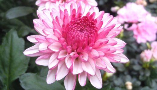 洋菊の種類と名前は?珍しい菊や品種改良した華麗な菊5選
