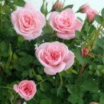 四季咲きミニバラの育て方・購入してからの管理と植え替えの手順