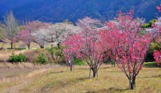 美しい冬桜!愛媛県新居浜市マイントピア別子の紅葉と冬桜の見頃は?