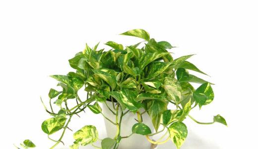 観葉植物ポトスの育て方・冬でも元気に育つポイントや留守の時の水やり