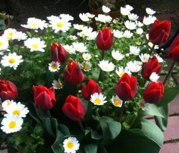 初めてのガーデニングでお勧めの花は?こぼれ種で毎年咲く花ノースポール