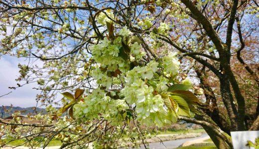緑の桜の名前はギョイコウ?鑑賞すれば金運アップする御衣黄の各地の名所