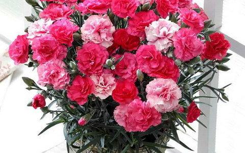 母の日の鉢植えのカーネーションの育て方・蕾が咲かない原因と対処法
