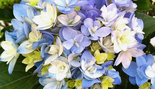 島根の星あつめが2021年アジサイの新品種で人気急上昇中!